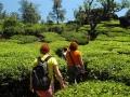 tea-plantation-munnar-olivebrook