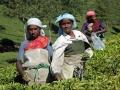 tea-woman-munnar-olivebrook